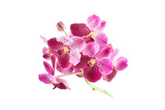 Purple orchid flowers on white background Royalty Free Stock Photography