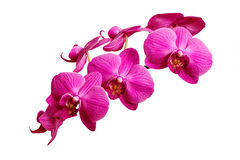 Purple orchid flowers on white background Royalty Free Stock Photo