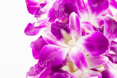 Purple orchid flowers on white background. Purple orchid flowers isolated on a white background,thai orchid Stock Photos