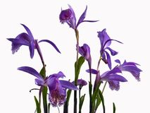 Purple Orchid flowers on a white background stock photos