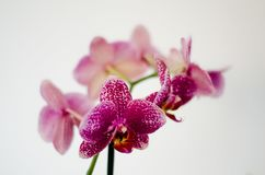 Purple orchid in the foreground. Purple orchid petals on white background Stock Photo