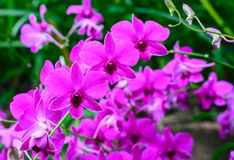 Purple orchid with in garden Royalty Free Stock Image