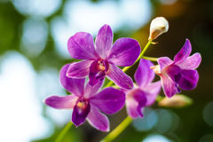 Purple orchid in garden. Purple orchids in garden with blur background Stock Image