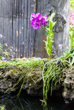 Purple orchid in garden, Phalaenopsis. Beautiful of purple orchid in garden, Genus is phalaenopsis orchid Stock Photo