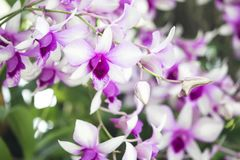 Purple orchid in the garden. Stock Image