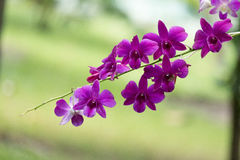 Purple Orchid. Orchid in the garden from Thailand Stock Photos