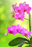 Purple orchid Stock Photos