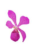 Purple orchid head Royalty Free Stock Photos