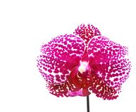 Purple orchid isolated Stock Image