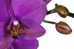Purple orchid isolated against white. Close-up of purple orchid isolated against white Stock Photo