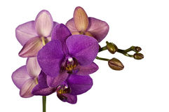Purple orchid isolated against white. Close-up of purple orchid isolated against white Stock Photography