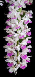 Purple Orchid Isolated on Black Background Stock Photo