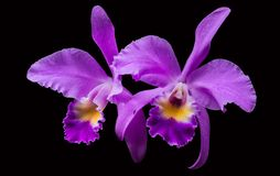 Purple orchid isolated in black royalty free stock photos