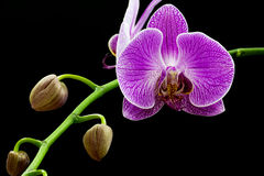 Purple orchid isolated Stock Photos