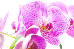 Purple orchid isolated white Royalty Free Stock Image