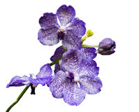 Purple orchid isolated on white Stock Photography