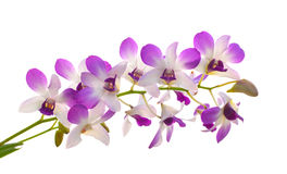 Purple orchid isolated on white background Stock Photo