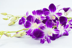 Purple orchid is isolated on white background.  stock photos