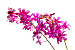 Purple orchid isolated on white background Stock Image