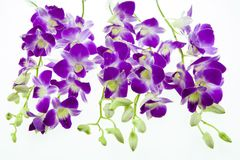 Purple orchid isolated on white background. Stock Photos