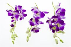 Purple orchid isolated on white background. Stock Image