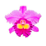 Purple orchid isolated on white with clipping path Stock Photos