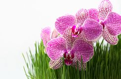 Purple Flowers in the Fresh Grass on the White Background. Purple Orchid in Juicy Grass on the White Background. Copy Space Stock Image