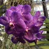 Purple orchid. In Kew Gardens royalty free stock photography