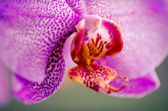 Purple orchid macro. Purple beautiful orchid closeup with blurred background Royalty Free Stock Images