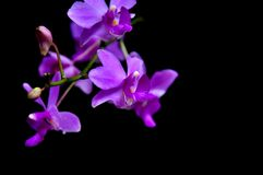 Purple orchid Many flowers black background. Purple orchid Thailand North image Many flowers black background Flower buds beautiful royalty free stock photography