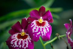 Purple orchid Miltoniopsis, closeup Royalty Free Stock Images