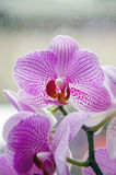 Purple orchid, Orchidaceae Phalaenopsis Stock Photos