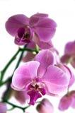 Purple orchid phalaenopsis. Over white background Royalty Free Stock Photo