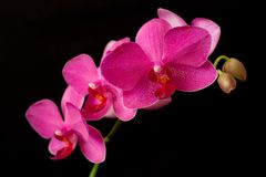 Purple orchid phalaenopsis on dark Royalty Free Stock Photos