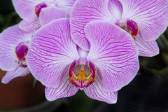 Purple orchid - phalaenopsis, on dark background. Beautiful purple orchid - phalaenopsis, on dark background Royalty Free Stock Images