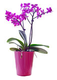 Purple orchid in a pink pot Royalty Free Stock Photo