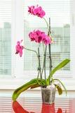 Purple orchid. Pot flower in transparent flowerpot. Houseplant royalty free stock image