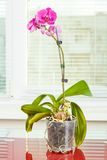 Purple orchid. Pot flower in transparent flowerpot. Houseplant stock images