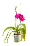 Purple orchid. Pot flower in transparent flowerpot. Isolated on white background stock photo