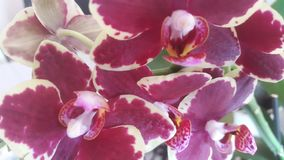 Burgundy orchid royalty free stock photography