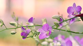 Purple Orchid. Flower on soft pink and green nature background Stock Image
