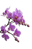 Purple orchid. Released with water drops Stock Image