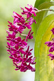 Purple orchid, Rhynchostylis gigantea Royalty Free Stock Images