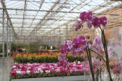 Purple orchid in shop for greenhouse cultivation of indoor flowers Royalty Free Stock Photo