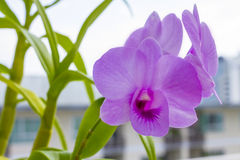Purple Orchid simple plant. Orchids are easily distinguished from other plants, as they share some very evident apomorphies Stock Image