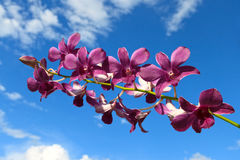 Purple orchid on a sky background with clouds. Purple orchid with water drops on a sky background with clouds Royalty Free Stock Photography