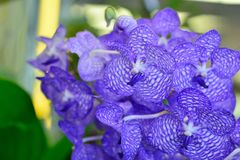 Purple orchid. Royalty Free Stock Images