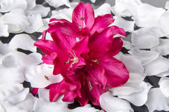 Purple orchid surrounded by white petals Stock Images