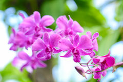 Purple Orchid. In Thai forest Stock Photography