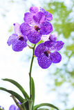 Purple orchid tree plant in nature with blurry backgroun Stock Photo